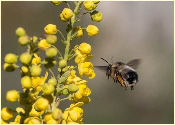 A digger bee approaching Oregon grape. Photograph: Robert Lalonde